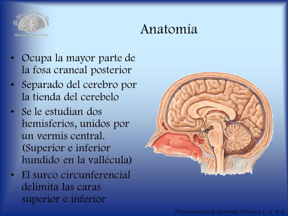 Departamento de Anatomía Humana, U. A. N. L. Anatomía Ocupa la mayor parte de la fosa craneal posterior Separado del cerebro por la tienda del cerebel