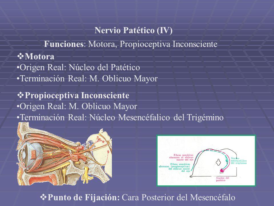 Nervio Patético (IV) Funciones: Motora, Propioceptiva Inconsciente Motora Origen Real: Núcleo del Patético Terminación Real: M. Oblicuo Mayor Propioce