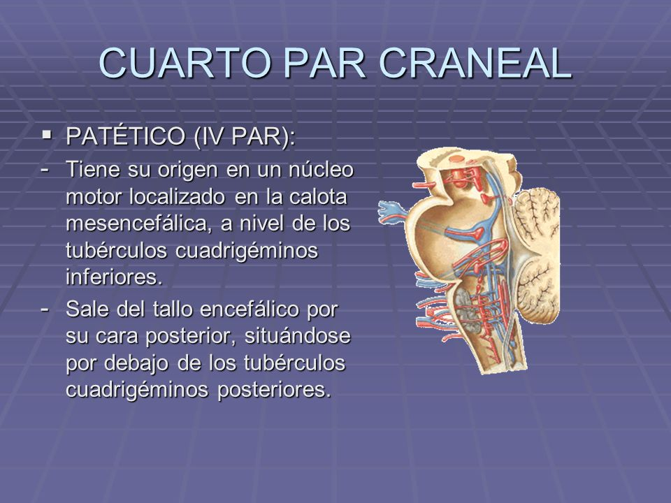 CUARTO PAR CRANEAL PATÉTICO (IV PAR): PATÉTICO (IV PAR): - Tiene su origen en un núcleo motor localizado en la calota mesencefálica, a nivel de los tu