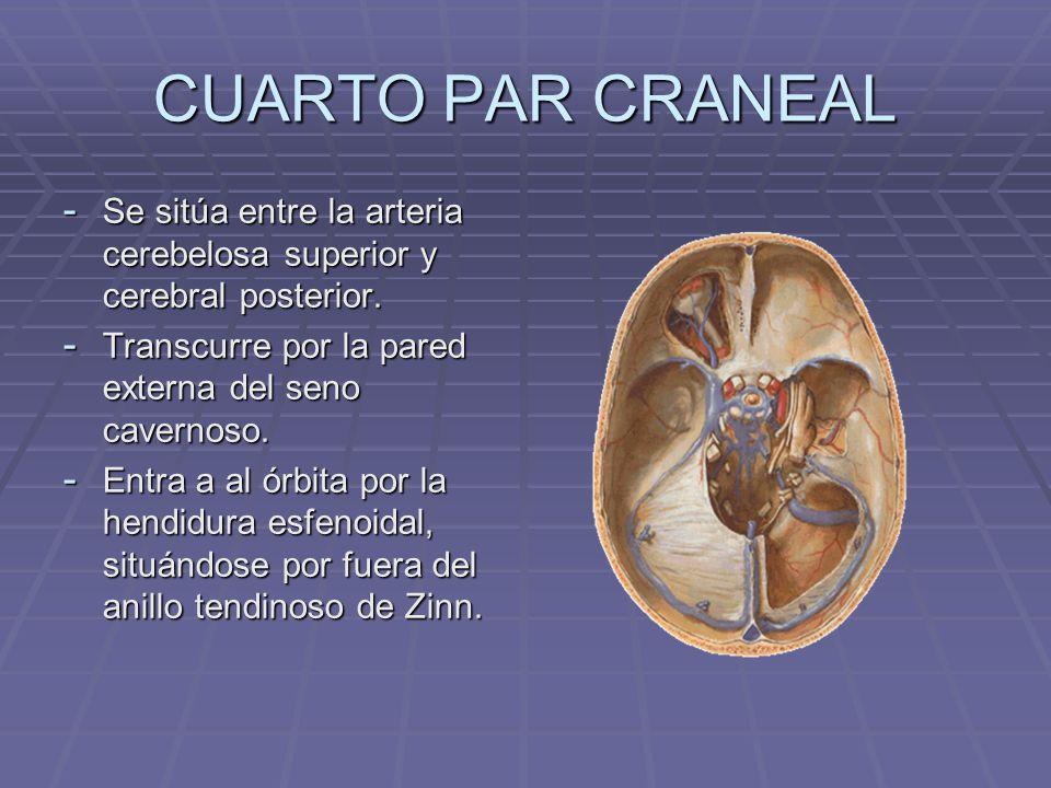 CUARTO PAR CRANEAL - Se sitúa entre la arteria cerebelosa superior y cerebral posterior. - Transcurre por la pared externa del seno cavernoso. - Entra