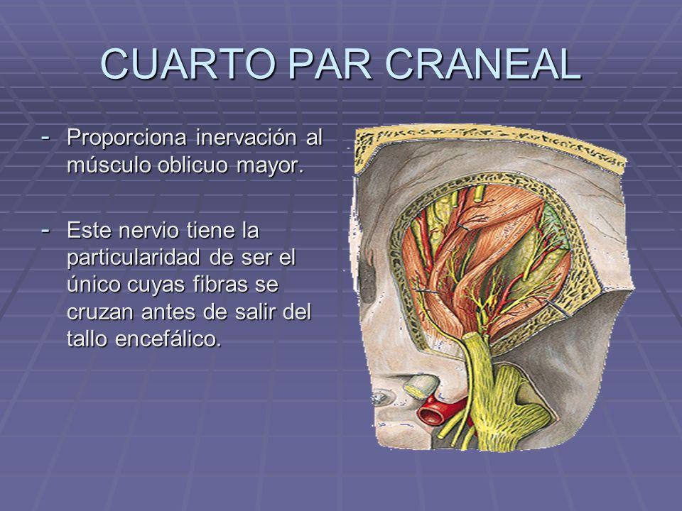 CUARTO PAR CRANEAL - Proporciona inervación al músculo oblicuo mayor. - Este nervio tiene la particularidad de ser el único cuyas fibras se cruzan ant
