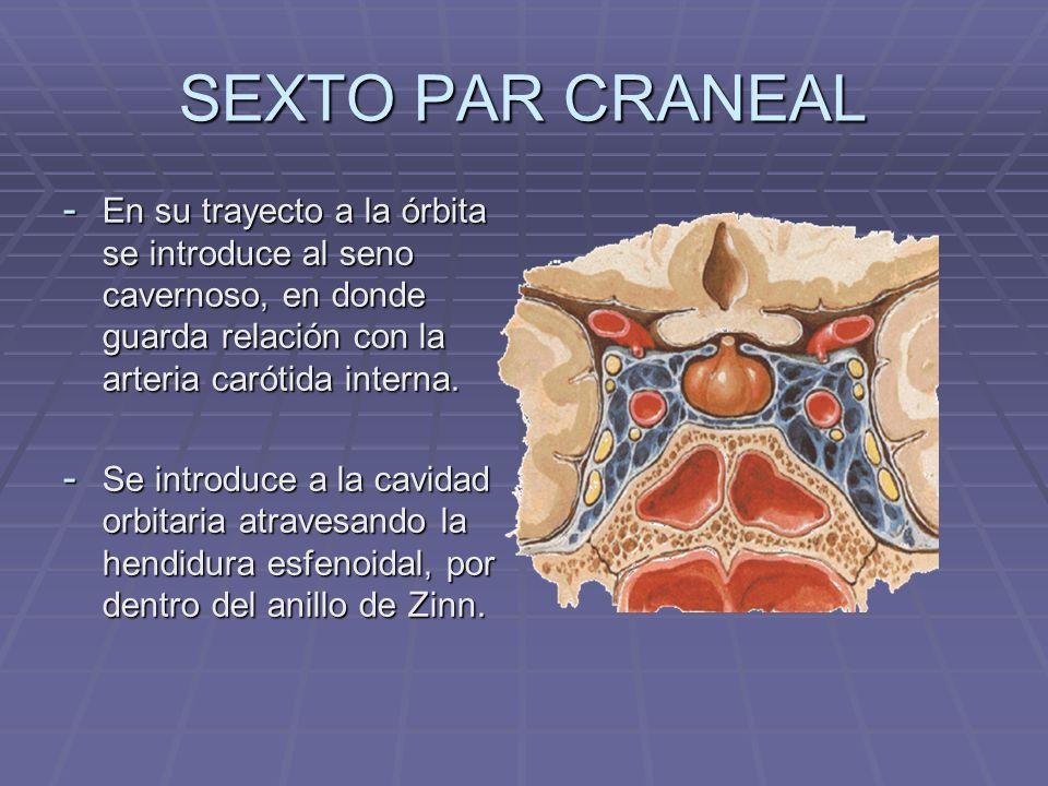 SEXTO PAR CRANEAL - En su trayecto a la órbita se introduce al seno cavernoso, en donde guarda relación con la arteria carótida interna. - Se introduc