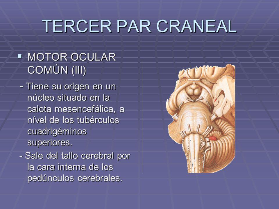 TERCER PAR CRANEAL MOTOR OCULAR COMÚN (III) MOTOR OCULAR COMÚN (III) - Tiene su origen en un núcleo situado en la calota mesencefálica, a nível de los