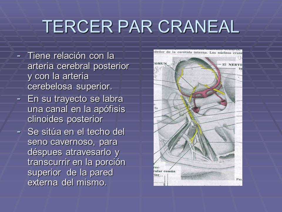 TERCER PAR CRANEAL - Entra a la cavidad orbitaria por la hendidura esfenoidal, atravesando el anillo tendinoso de Zinn.