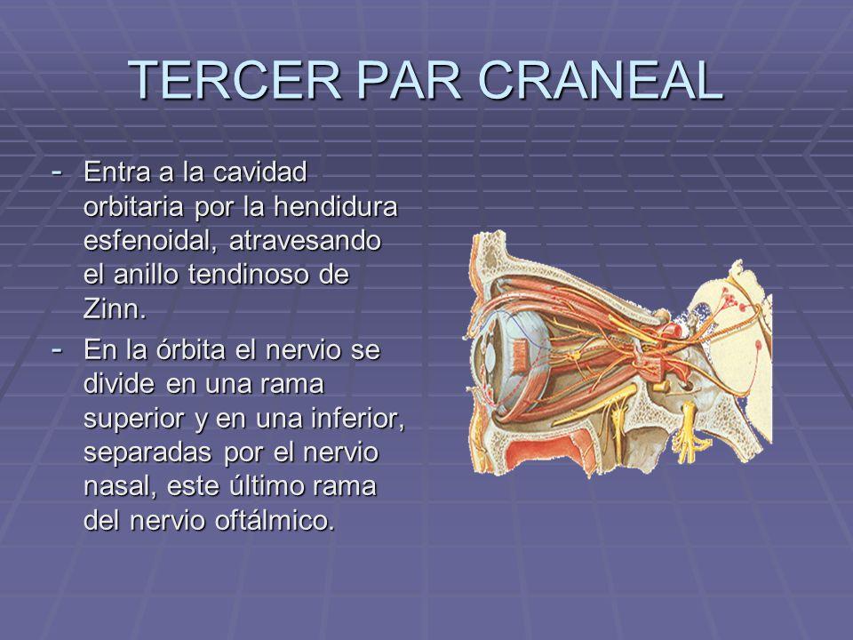 TERCER PAR CRANEAL - La rama superior se encarga de inervar a los siguientes músculos: - elevador del párpado superior - elevador del párpado superior - recto superior - recto superior - La rama inferior inerva los siguientes músculos: - recto interno - recto interno - recto inferior - recto inferior - oblicuo menor - oblicuo menor