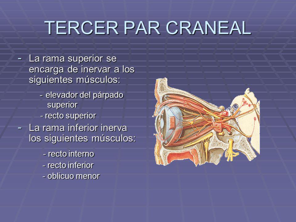 TERCER PAR CRANEAL - La rama superior se encarga de inervar a los siguientes músculos: - elevador del párpado superior - elevador del párpado superior