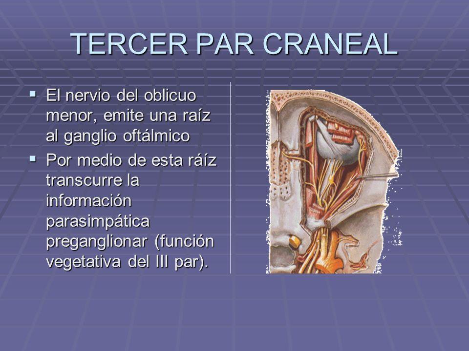 TERCER PAR CRANEAL El nervio del oblicuo menor, emite una raíz al ganglio oftálmico El nervio del oblicuo menor, emite una raíz al ganglio oftálmico P