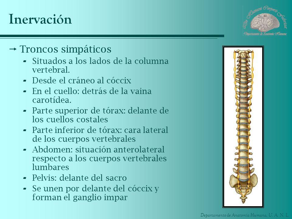 Departamento de Anatomía Humana, U. A. N. L. Inervación Troncos simpáticos - Situados a los lados de la columna vertebral. - Desde el cráneo al cóccix