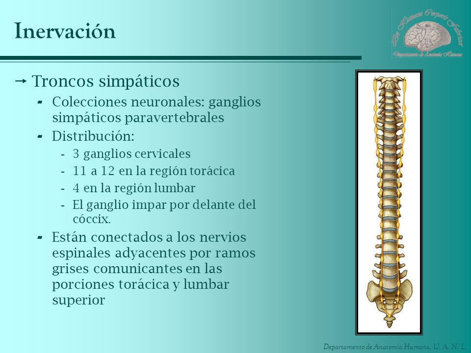 Departamento de Anatomía Humana, U. A. N. L. Inervación Troncos simpáticos - Colecciones neuronales: ganglios simpáticos paravertebrales - Distribució