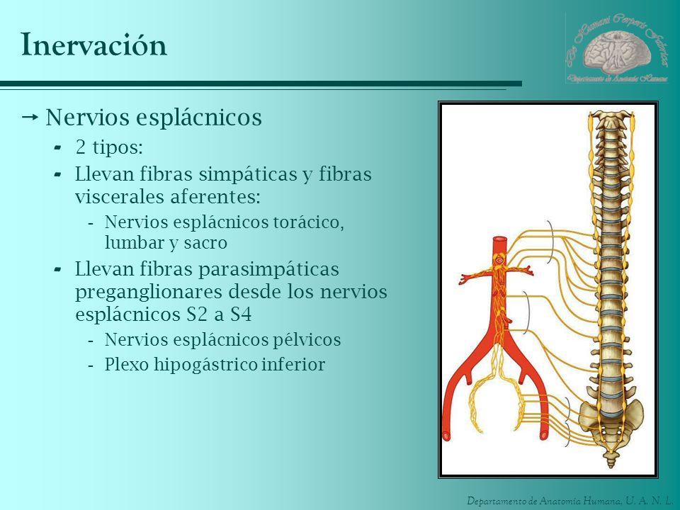 Departamento de Anatomía Humana, U. A. N. L. Inervación Nervios esplácnicos - 2 tipos: - Llevan fibras simpáticas y fibras viscerales aferentes: -Nerv