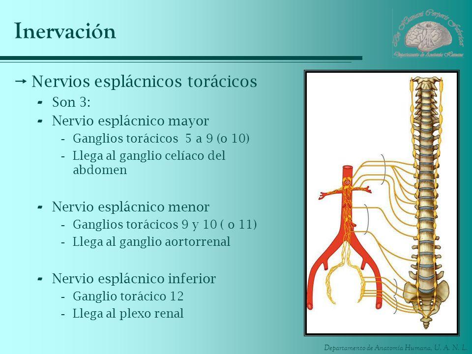 Departamento de Anatomía Humana, U. A. N. L. Inervación Nervios esplácnicos torácicos - Son 3: - Nervio esplácnico mayor -Ganglios torácicos 5 a 9 (o