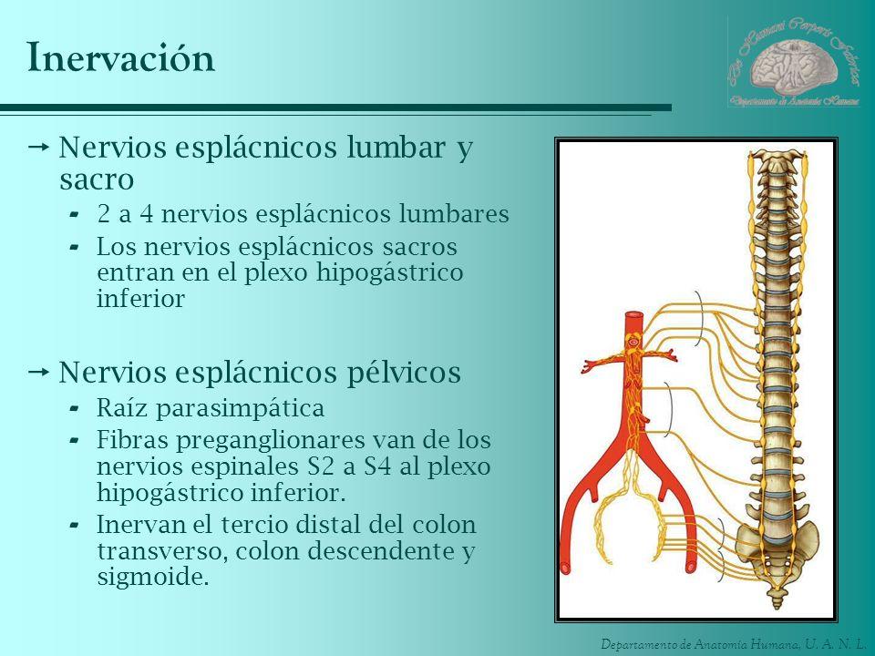 Departamento de Anatomía Humana, U. A. N. L. Inervación Nervios esplácnicos lumbar y sacro - 2 a 4 nervios esplácnicos lumbares - Los nervios esplácni