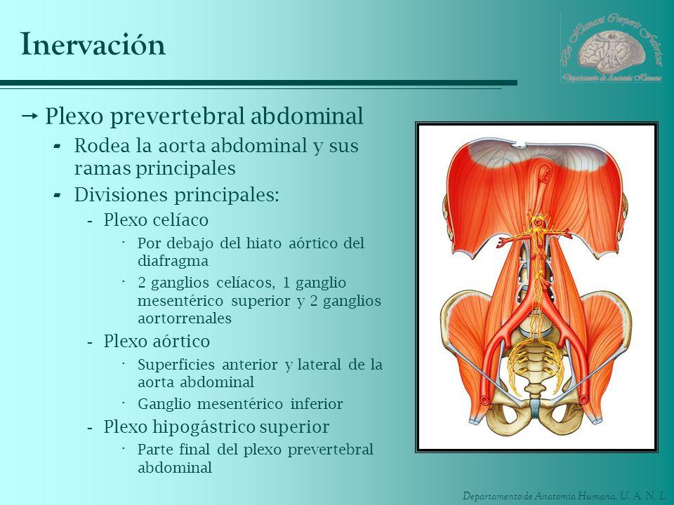 Departamento de Anatomía Humana, U. A. N. L. Inervación Plexo prevertebral abdominal - Rodea la aorta abdominal y sus ramas principales - Divisiones p