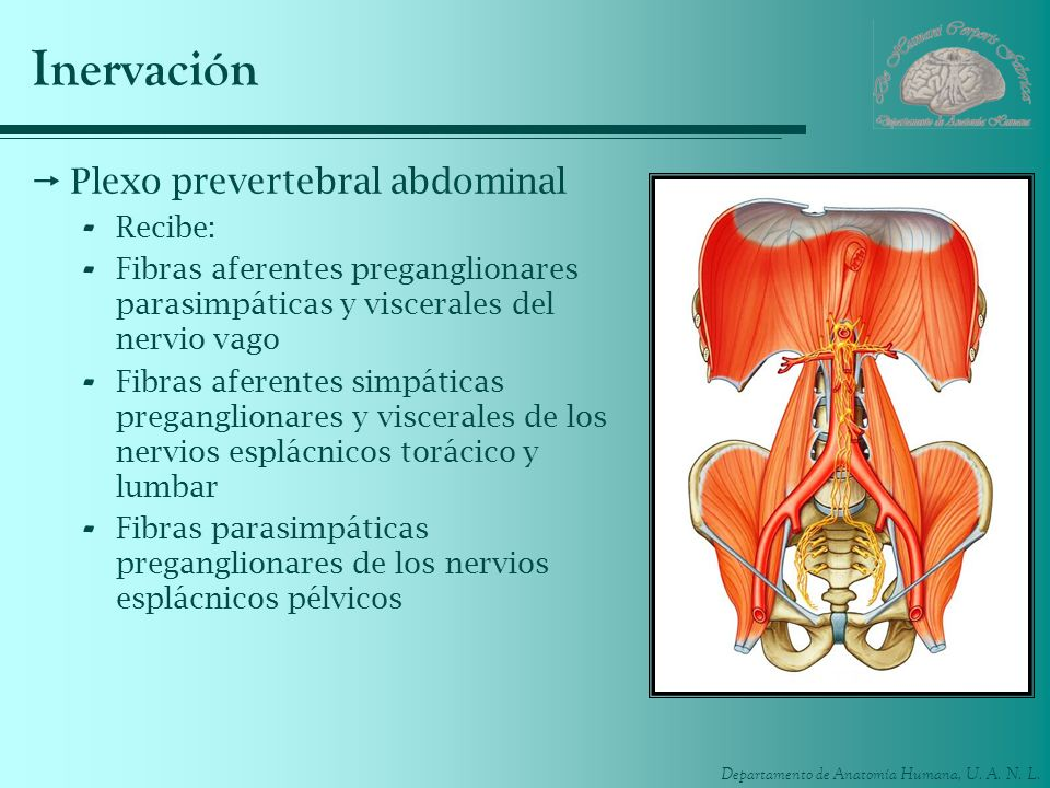 Departamento de Anatomía Humana, U. A. N. L. Inervación Plexo prevertebral abdominal - Recibe: - Fibras aferentes preganglionares parasimpáticas y vis