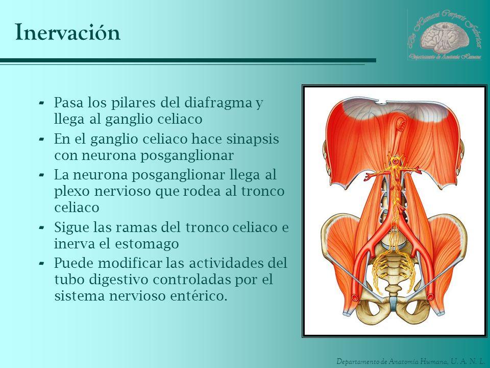 Departamento de Anatomía Humana, U. A. N. L. Inervación - Pasa los pilares del diafragma y llega al ganglio celiaco - En el ganglio celiaco hace sinap