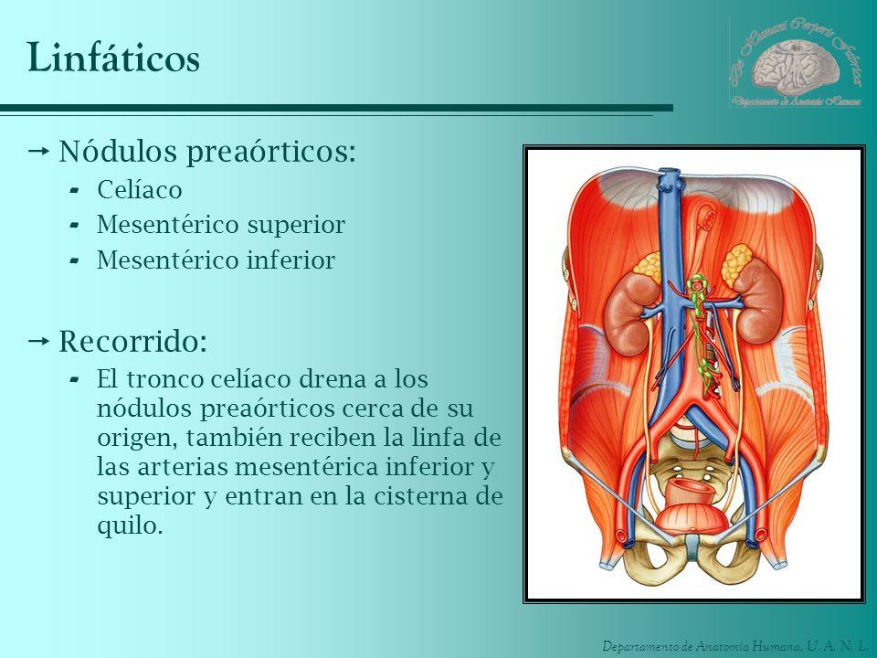 Departamento de Anatomía Humana, U. A. N. L. Linfáticos Nódulos preaórticos: - Celíaco - Mesentérico superior - Mesentérico inferior Recorrido: - El t