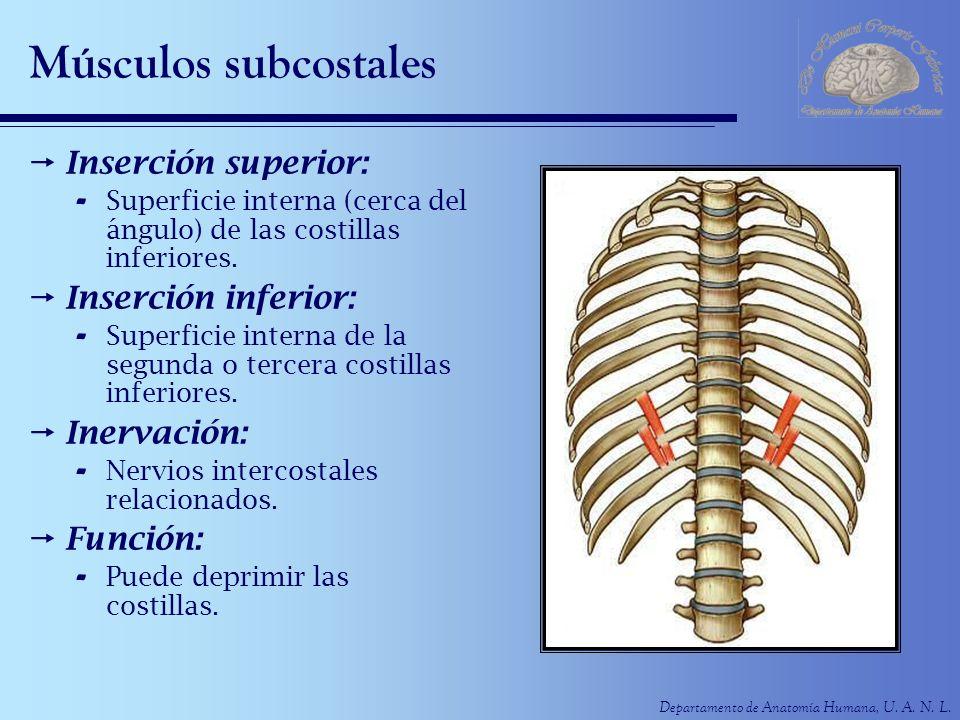 Departamento de Anatomía Humana, U. A. N. L. Músculos subcostales Inserción superior: - Superficie interna (cerca del ángulo) de las costillas inferio