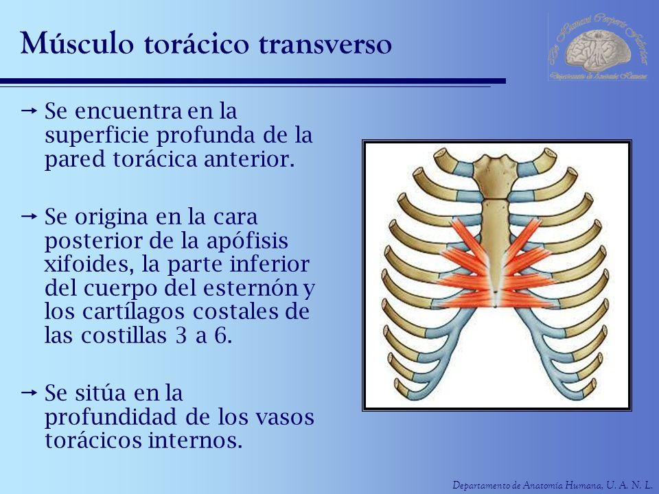 Departamento de Anatomía Humana, U. A. N. L. Músculo torácico transverso Se encuentra en la superficie profunda de la pared torácica anterior. Se orig