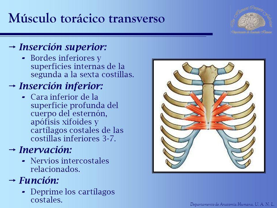 Departamento de Anatomía Humana, U. A. N. L. Músculo torácico transverso Inserción superior: - Bordes inferiores y superficies internas de la segunda