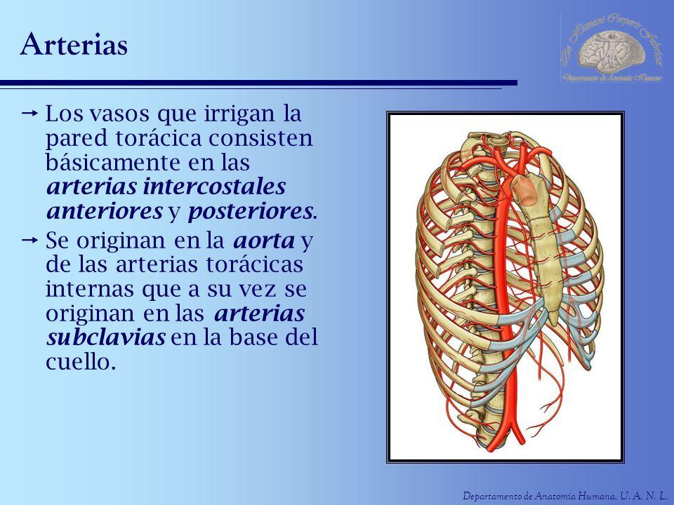 Departamento de Anatomía Humana, U. A. N. L. Arterias Los vasos que irrigan la pared torácica consisten básicamente en las arterias intercostales ante