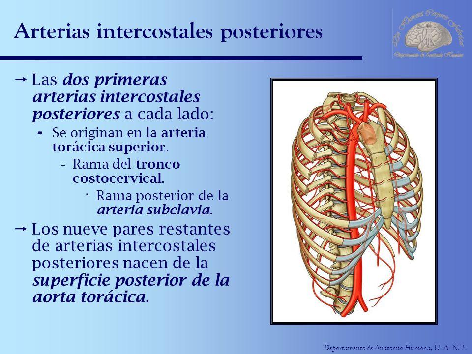 Departamento de Anatomía Humana, U. A. N. L. Arterias intercostales posteriores Las dos primeras arterias intercostales posteriores a cada lado: - Se