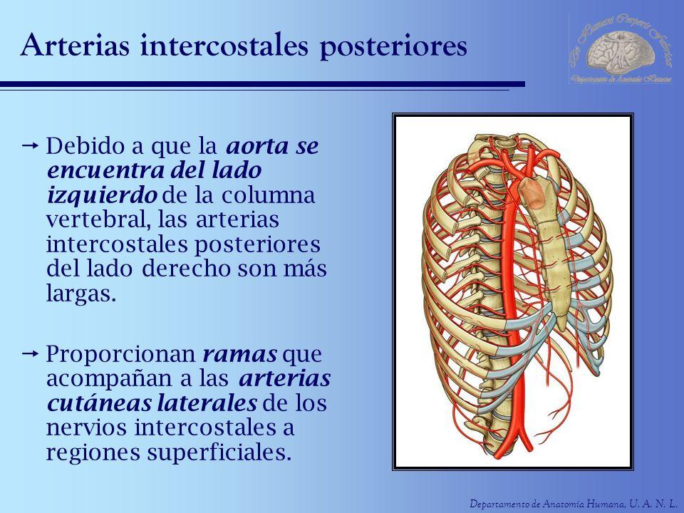 Departamento de Anatomía Humana, U. A. N. L. Arterias intercostales posteriores Debido a que la aorta se encuentra del lado izquierdo de la columna ve