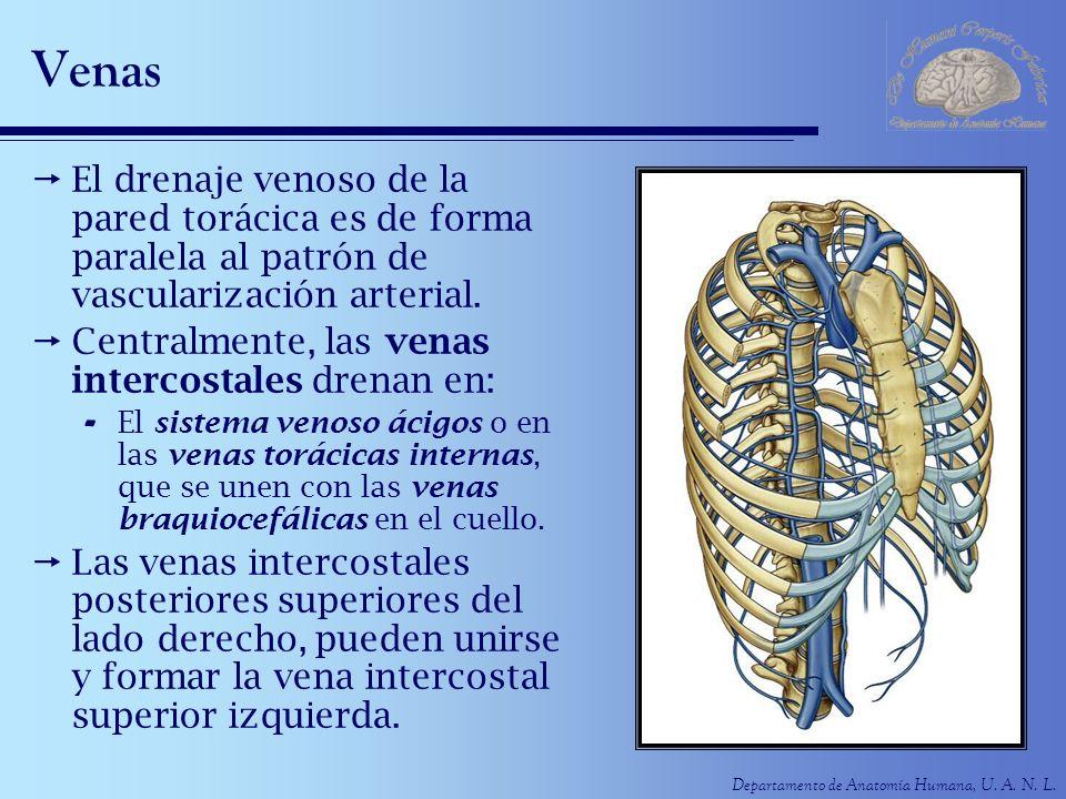 Departamento de Anatomía Humana, U. A. N. L. Venas El drenaje venoso de la pared torácica es de forma paralela al patrón de vascularización arterial.