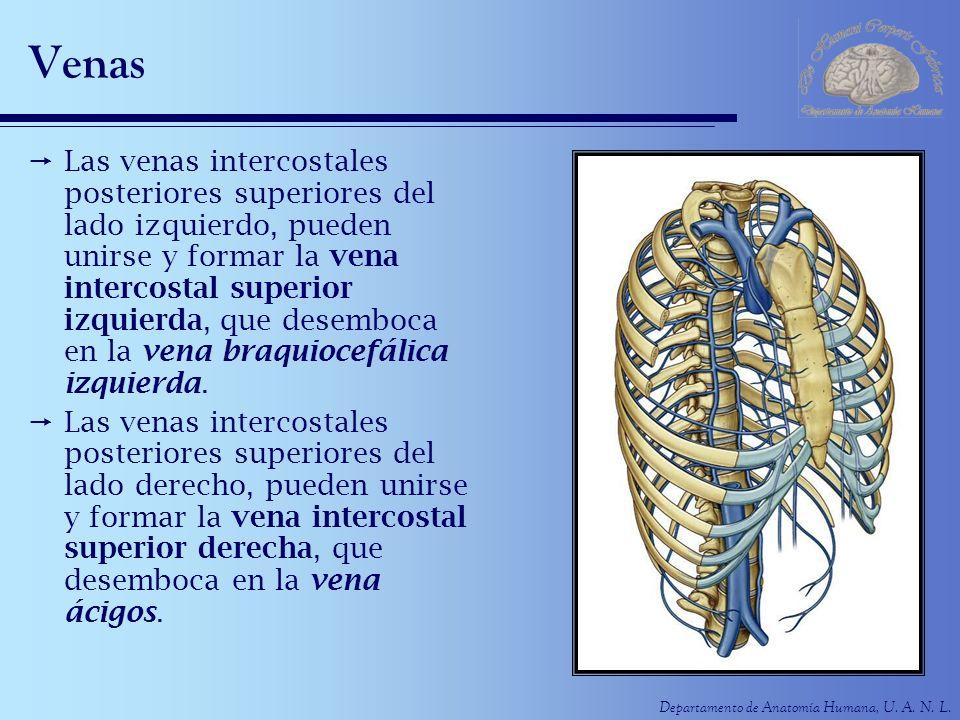 Departamento de Anatomía Humana, U. A. N. L. Venas Las venas intercostales posteriores superiores del lado izquierdo, pueden unirse y formar la vena i