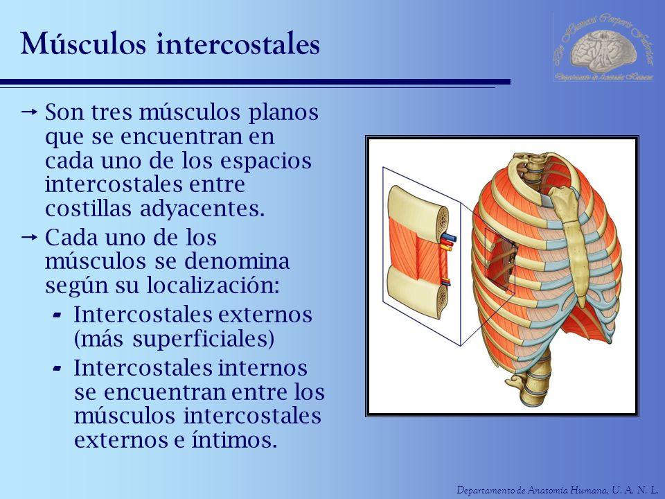 Departamento de Anatomía Humana, U. A. N. L. Músculos intercostales Son tres músculos planos que se encuentran en cada uno de los espacios intercostal