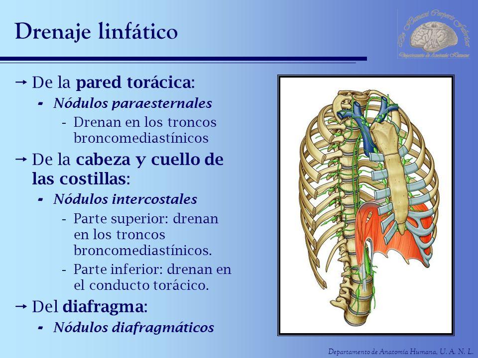 Departamento de Anatomía Humana, U. A. N. L. Drenaje linfático De la pared torácica: - Nódulos paraesternales -Drenan en los troncos broncomediastínic