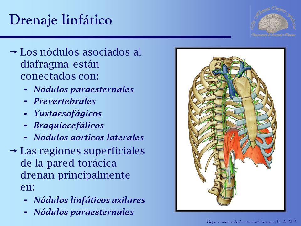 Departamento de Anatomía Humana, U. A. N. L. Drenaje linfático Los nódulos asociados al diafragma están conectados con: - Nódulos paraesternales - Pre