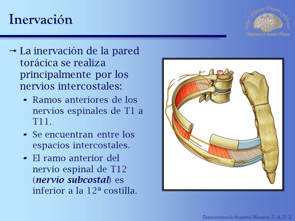 Departamento de Anatomía Humana, U. A. N. L. Inervación La inervación de la pared torácica se realiza principalmente por los nervios intercostales: -