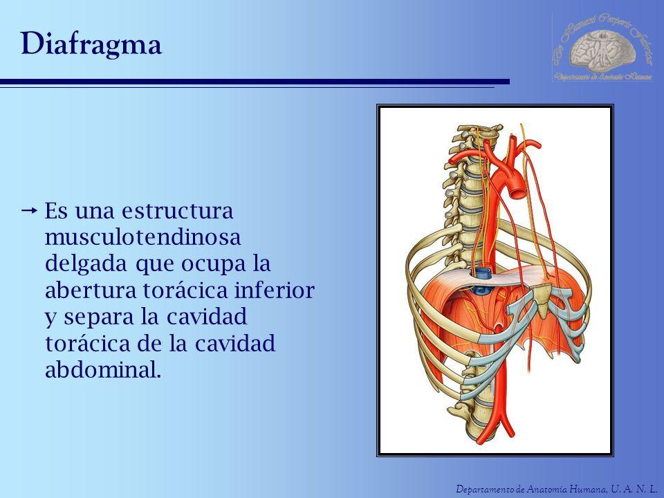 Departamento de Anatomía Humana, U. A. N. L. Diafragma Es una estructura musculotendinosa delgada que ocupa la abertura torácica inferior y separa la