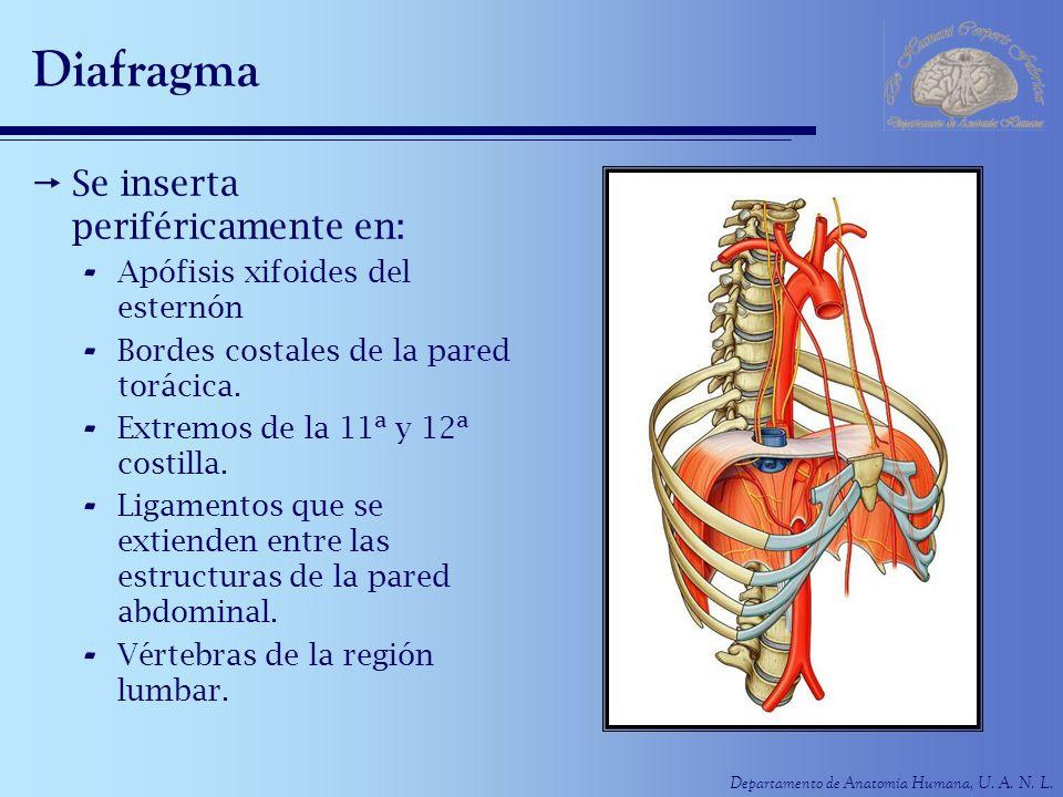 Departamento de Anatomía Humana, U. A. N. L. Diafragma Se inserta periféricamente en: - Apófisis xifoides del esternón - Bordes costales de la pared t