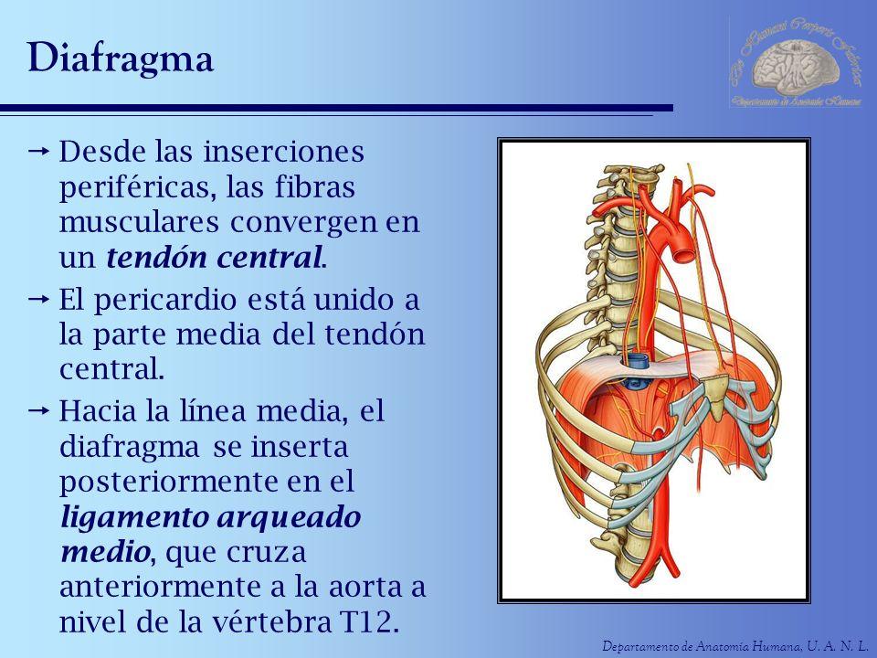 Departamento de Anatomía Humana, U. A. N. L. Diafragma Desde las inserciones periféricas, las fibras musculares convergen en un tendón central. El per