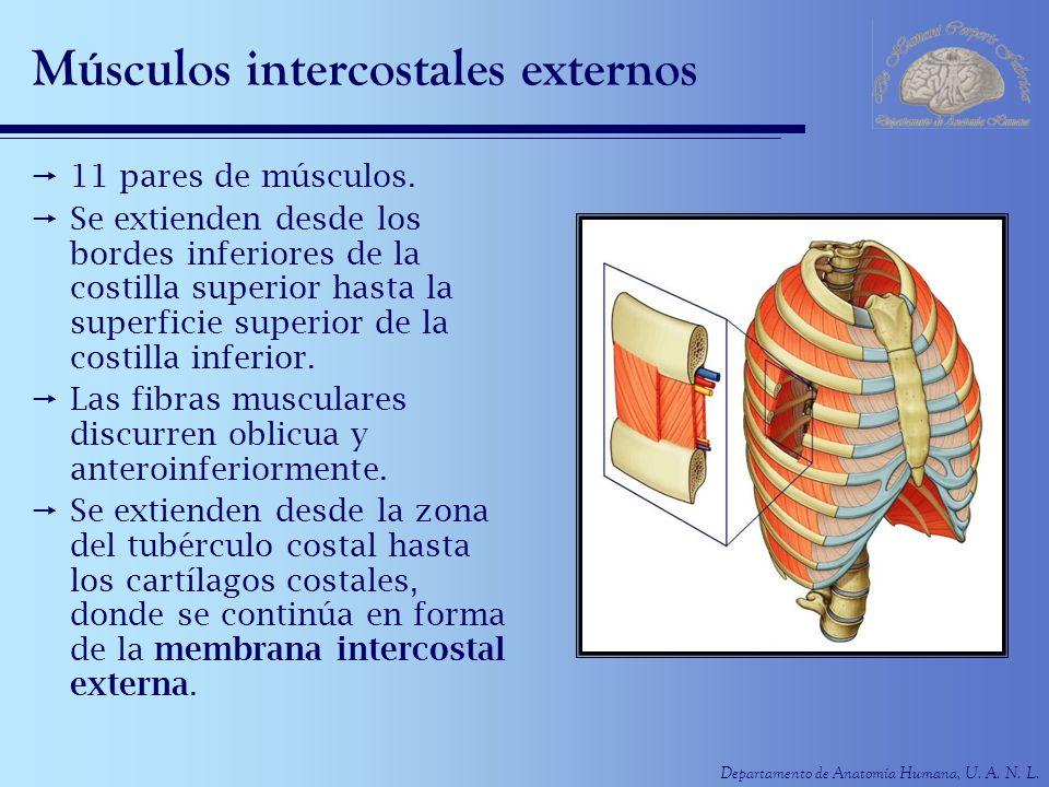 Departamento de Anatomía Humana, U. A. N. L. Músculos intercostales externos 11 pares de músculos. Se extienden desde los bordes inferiores de la cost