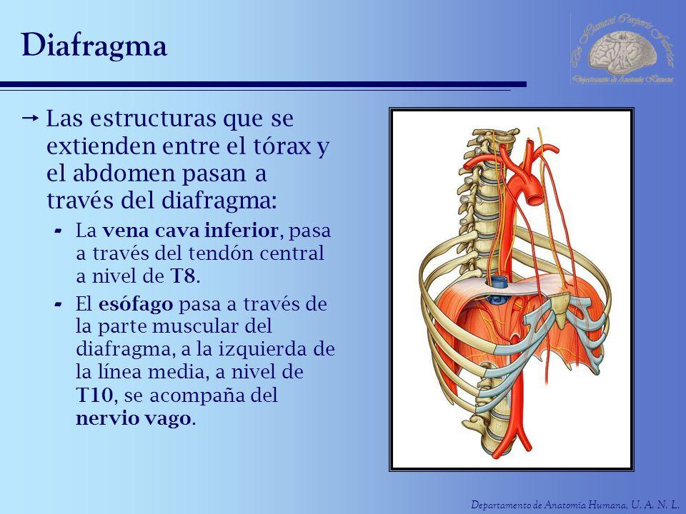Departamento de Anatomía Humana, U. A. N. L. Diafragma Las estructuras que se extienden entre el tórax y el abdomen pasan a través del diafragma: - La