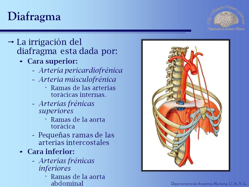 Departamento de Anatomía Humana, U. A. N. L. Diafragma La irrigación del diafragma esta dada por: - Cara superior: -Arteria pericardiofrénica -Arteria