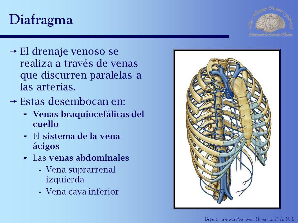 Departamento de Anatomía Humana, U. A. N. L. Diafragma El drenaje venoso se realiza a través de venas que discurren paralelas a las arterias. Estas de