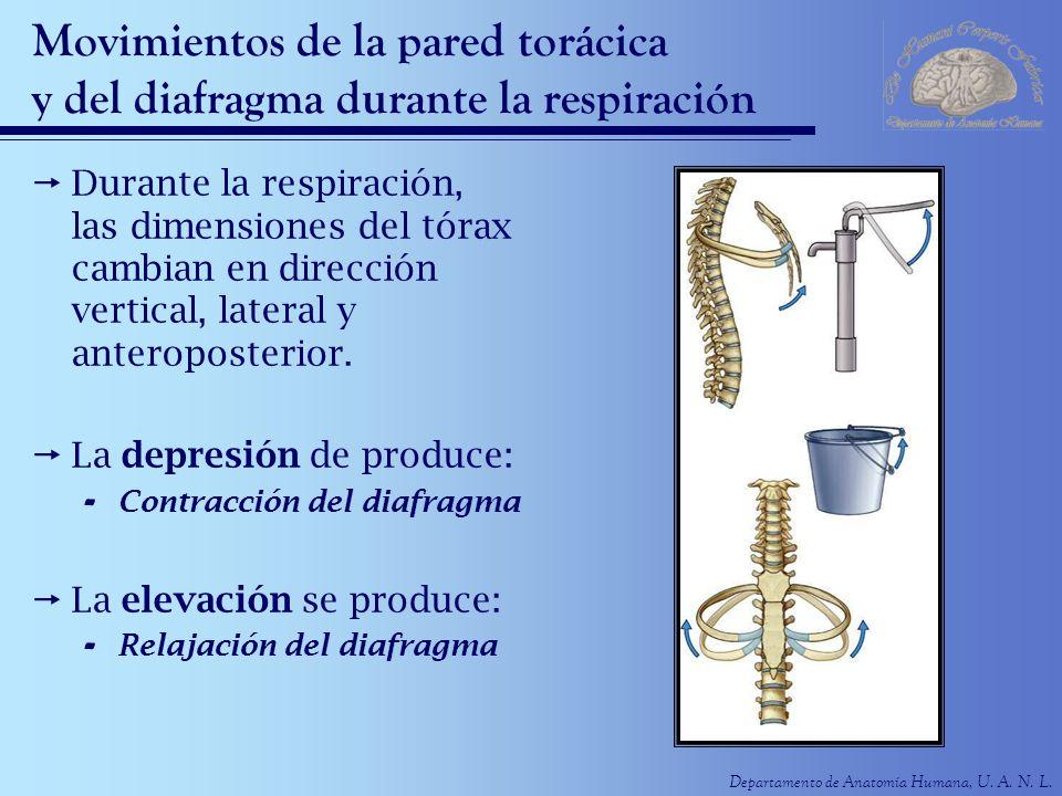 Departamento de Anatomía Humana, U. A. N. L. Movimientos de la pared torácica y del diafragma durante la respiración Durante la respiración, las dimen