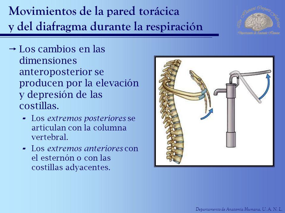 Departamento de Anatomía Humana, U. A. N. L. Movimientos de la pared torácica y del diafragma durante la respiración Los cambios en las dimensiones an