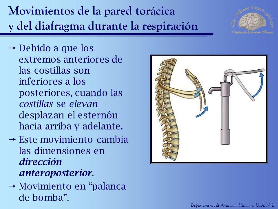 Departamento de Anatomía Humana, U. A. N. L. Movimientos de la pared torácica y del diafragma durante la respiración Debido a que los extremos anterio