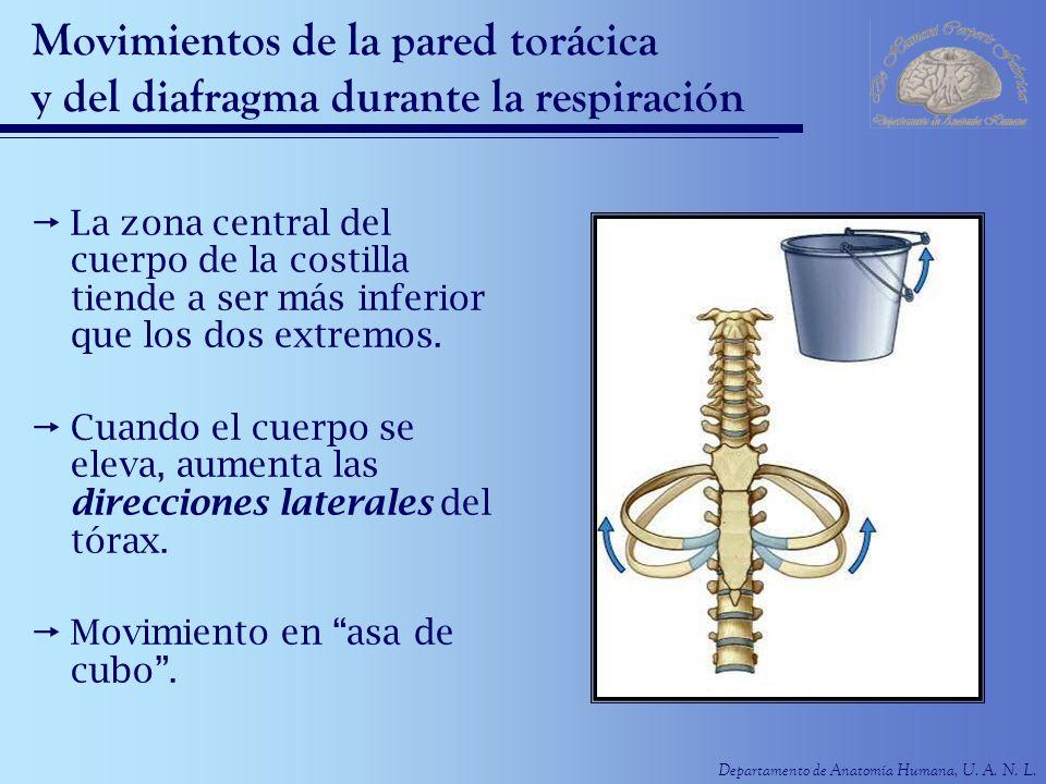 Departamento de Anatomía Humana, U. A. N. L. Movimientos de la pared torácica y del diafragma durante la respiración La zona central del cuerpo de la