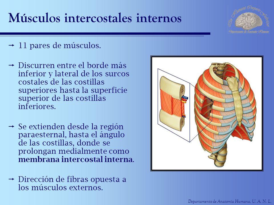 Departamento de Anatomía Humana, U. A. N. L. Músculos intercostales internos 11 pares de músculos. Discurren entre el borde más inferior y lateral de