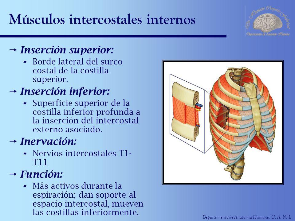 Departamento de Anatomía Humana, U. A. N. L. Músculos intercostales internos Inserción superior: - Borde lateral del surco costal de la costilla super