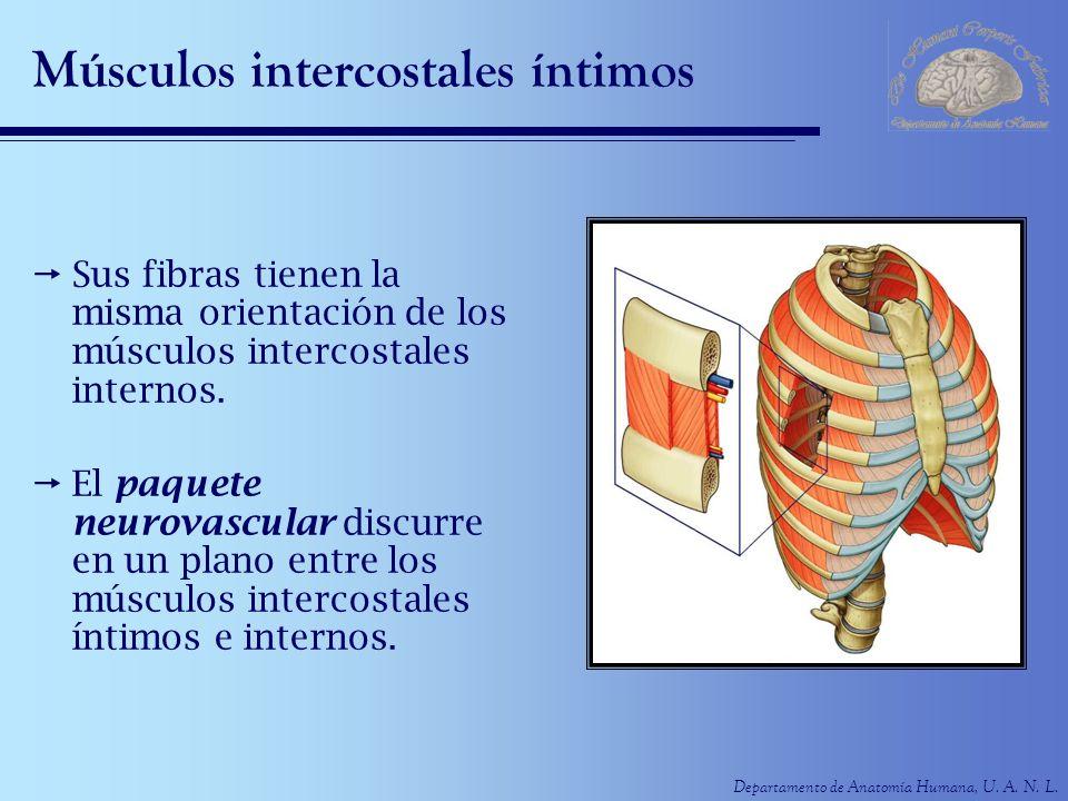 Departamento de Anatomía Humana, U. A. N. L. Músculos intercostales íntimos Sus fibras tienen la misma orientación de los músculos intercostales inter
