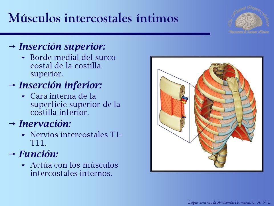 Departamento de Anatomía Humana, U. A. N. L. Músculos intercostales íntimos Inserción superior: - Borde medial del surco costal de la costilla superio