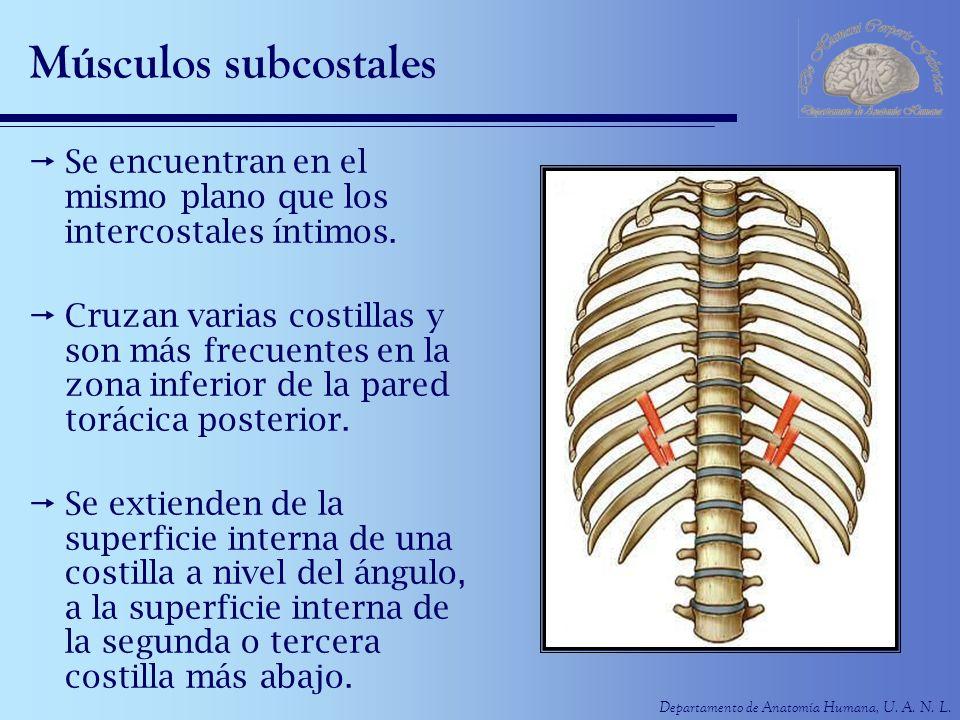 Departamento de Anatomía Humana, U. A. N. L. Músculos subcostales Se encuentran en el mismo plano que los intercostales íntimos. Cruzan varias costill