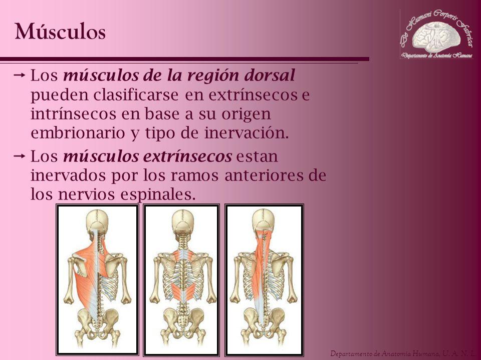 Departamento de Anatomía Humana, U. A. N. L. Los músculos de la región dorsal pueden clasificarse en extrínsecos e intrínsecos en base a su origen emb