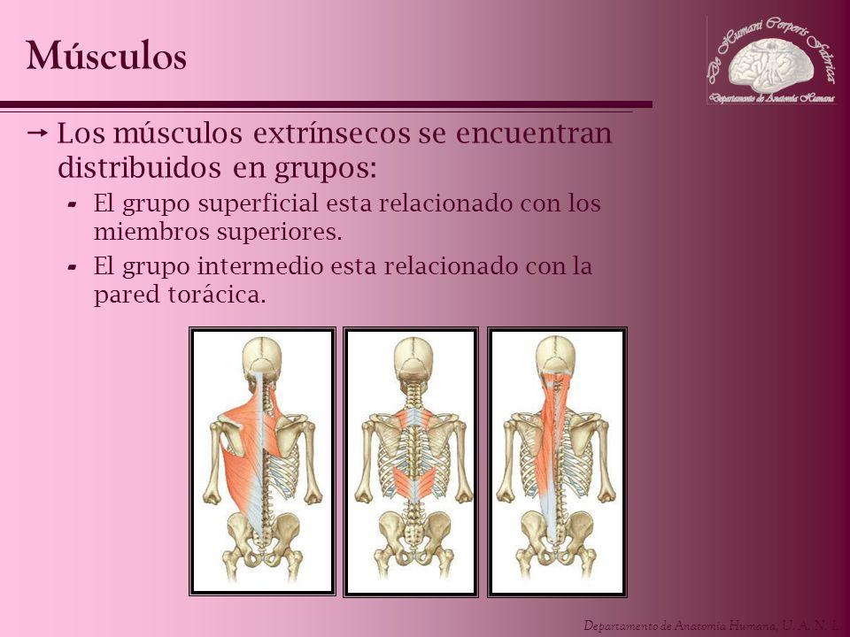Departamento de Anatomía Humana, U. A. N. L. Los músculos extrínsecos se encuentran distribuidos en grupos: - El grupo superficial esta relacionado co
